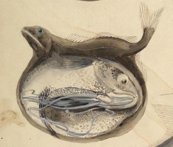 cá nĩa, cá dĩa đen, con vật, Black Forkfish, chuyện lạ