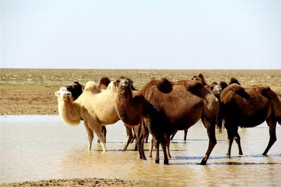 lạc đà, sa mạc, xác lạc đà
