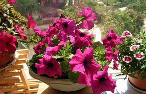 không nên trồng hoa ở vị trí này trong nhà, phong thủy gia đình, phong thủy
