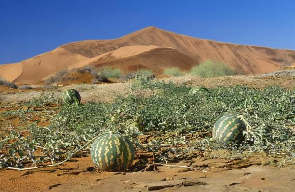 sa mạc, dưa hấu, dưa hấu đọc, kinh nghiệm đi du lịch