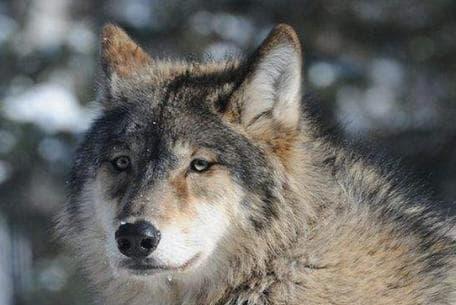chó sói, kỹ năng sống, muối