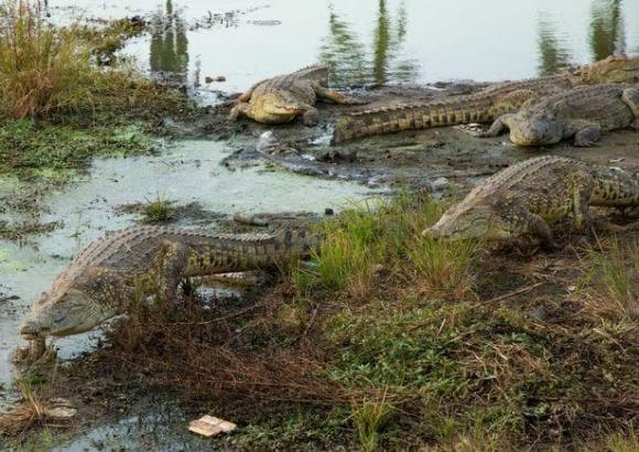 cá sấu, châu phi