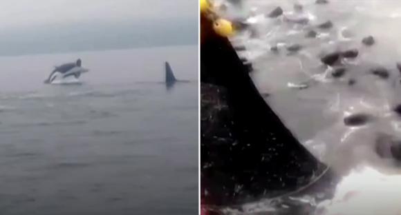 cá voi sát thủ, thế giới động vật, chuyện lạ