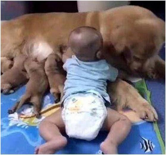 Chú chó săn lông vàng, Chó Golden Retriever, hành động hài hước