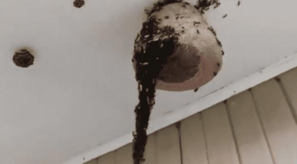 kỳ lạ, kiến xây cầu lên trần nhà, chuyện lạ, thế giới động vật