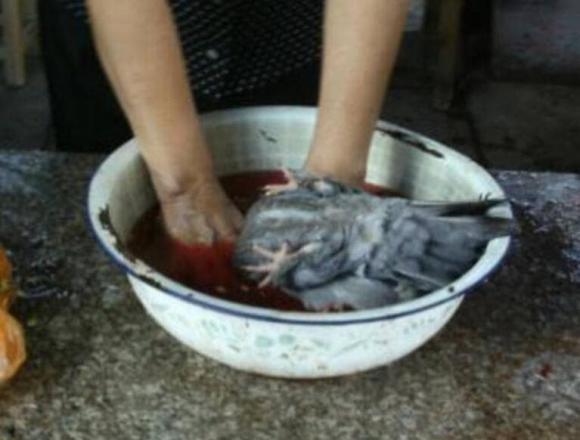 chim bồ câu, thịt chim bồ câu
