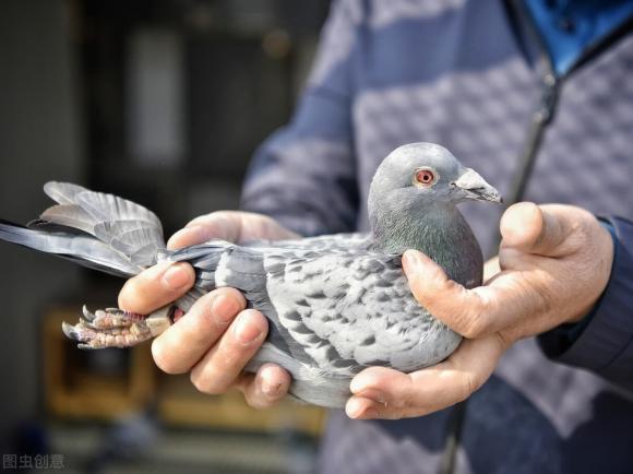 chim bồ câu, bồ câu đưa thư, truyền thông tin