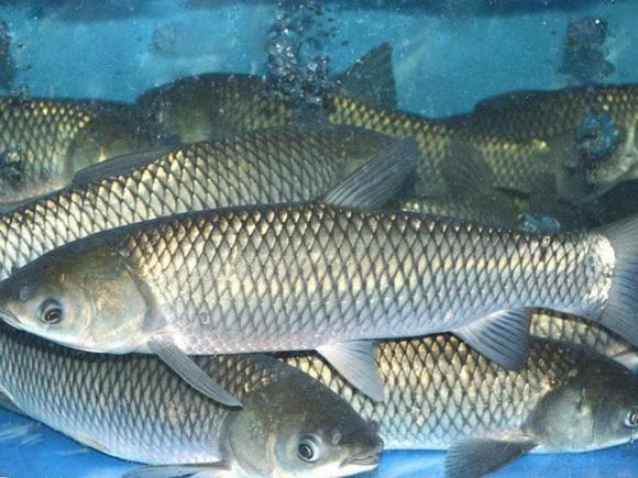 cá nước ngọt, ăn gì để thông minh, tăng chiều cao cho trẻ