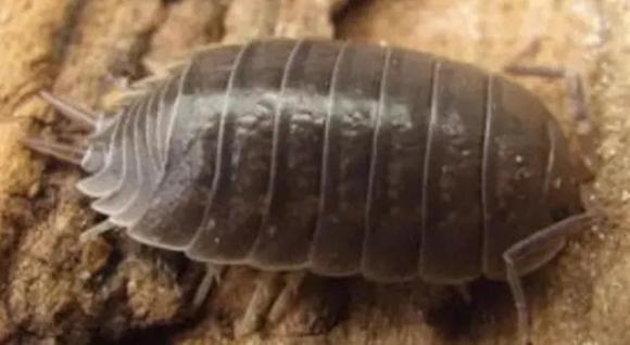 chẫy gỗ, sâu bọ, côn trùng
