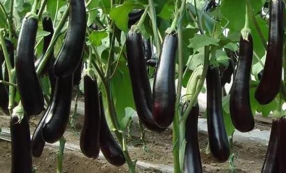 trồng cà tím tại nhà, trồng cà tím, cà tím