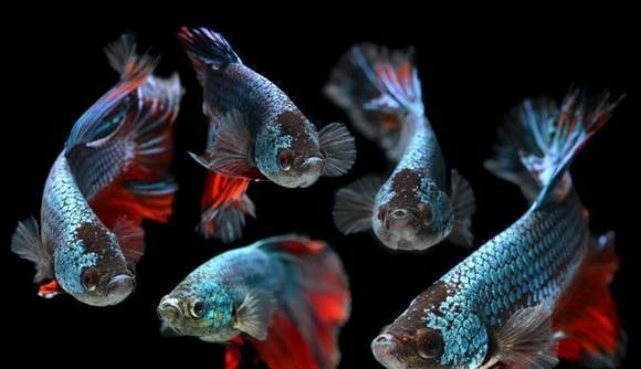 cá cảnh, nuôi cá cảnh, cách nuôi cá cảnh đúng cách