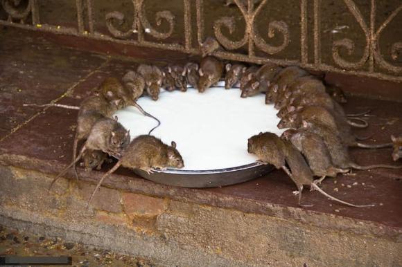 diệt chuột, bẫy chuột, mẹo hay, côn trùng