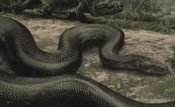 Con trăn lớn nhất thế giới, loài trăn lớn nhất thế giới, kích thước khổng lồ của loài trăn