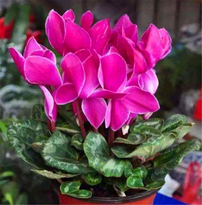hoa chịu lạnh 2