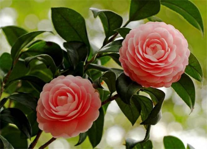 hoa chịu lạnh 5